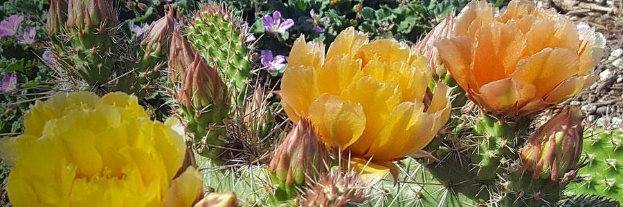 Blooming Opuntia