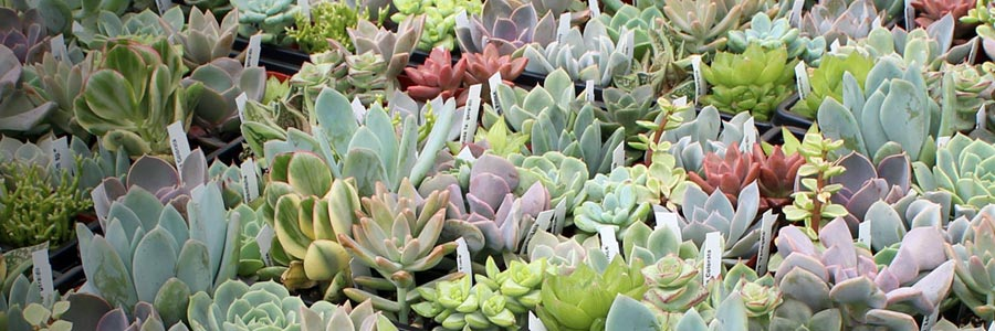Succulent Bulk Tray Sale