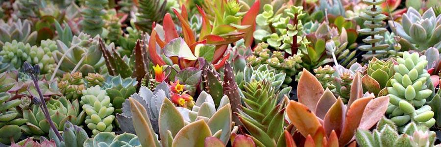 Soft Succulents