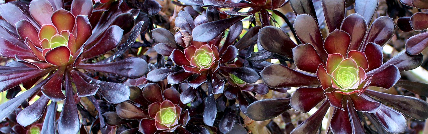 Aeonium | Mountain Crest Gardens