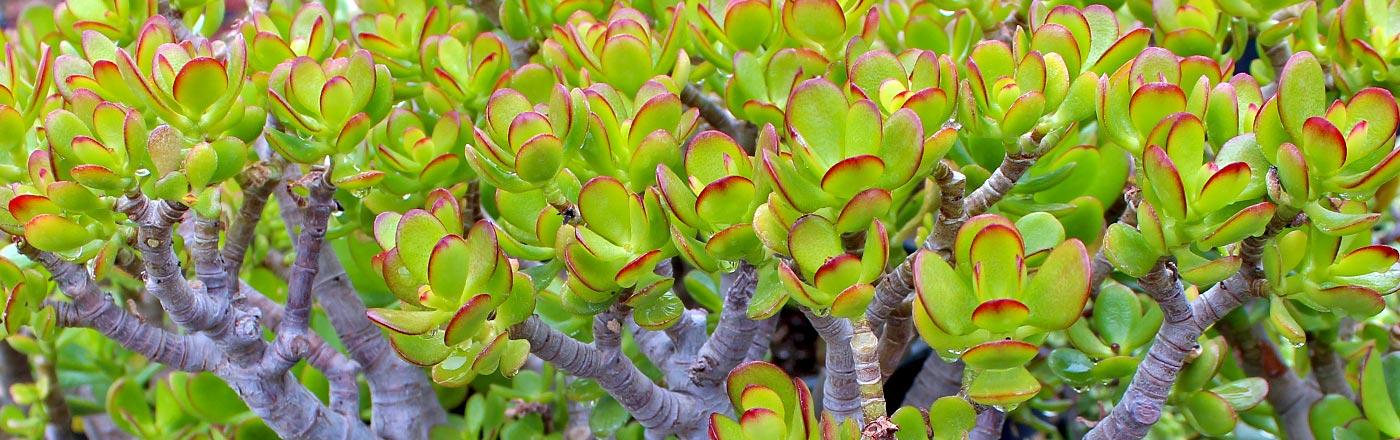 Crassula Jade | Mountain Crest Gardens
