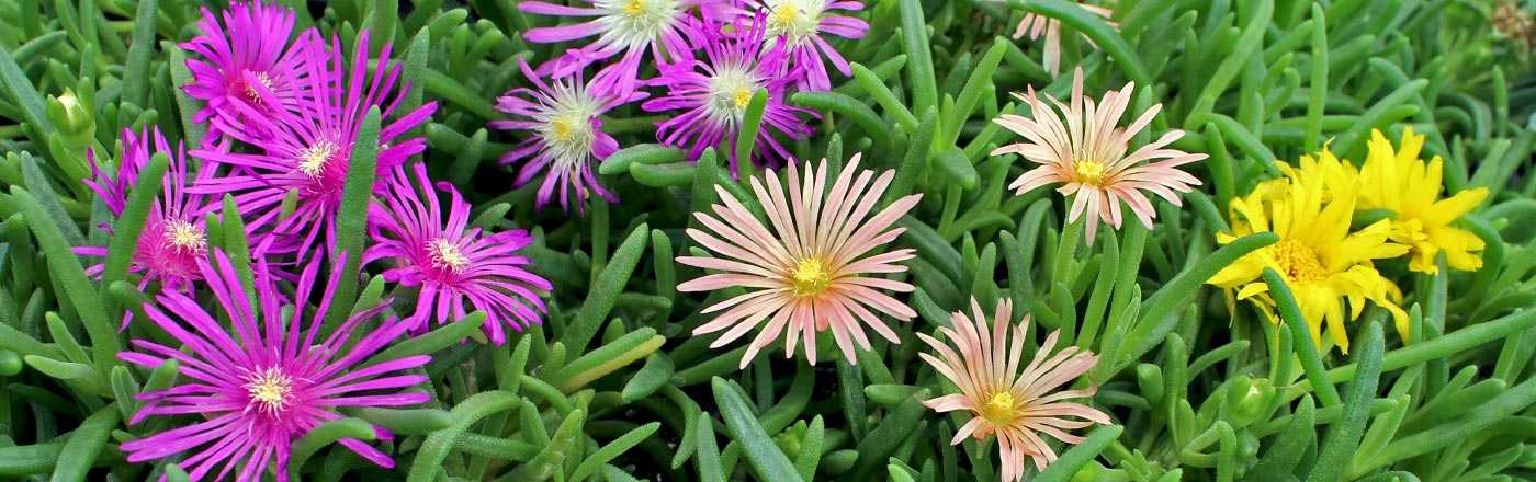 Delosperma Ice Plant | Mountain Crest Gardens