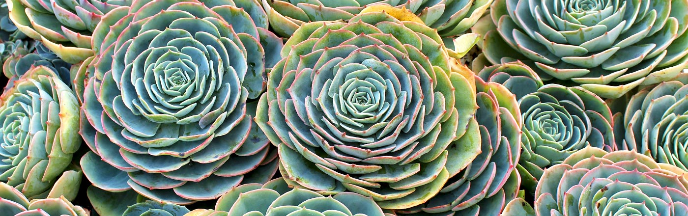 Echeveria | Mountain Crest Gardens