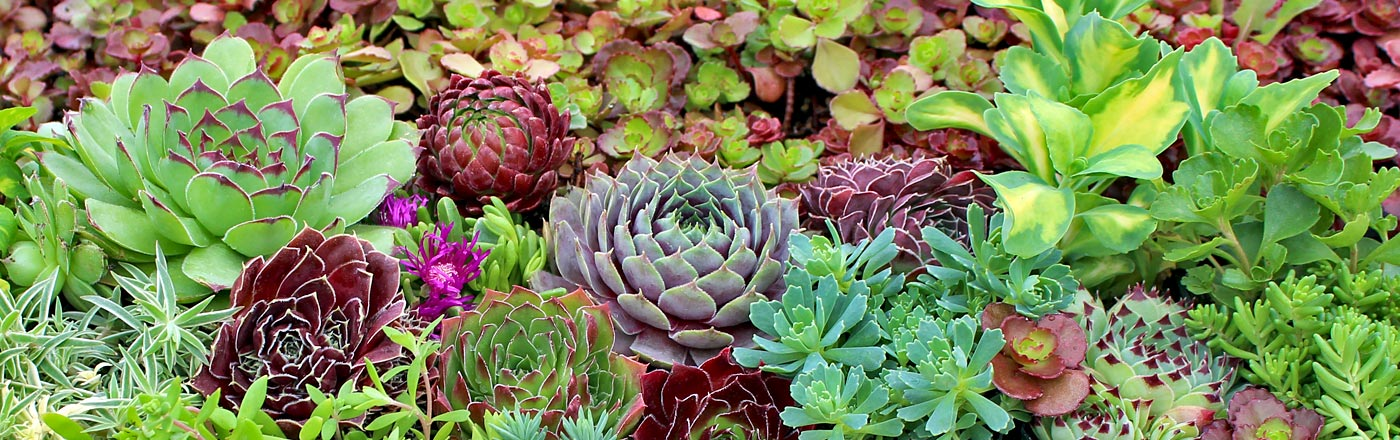 Infographics sedums succulents grown