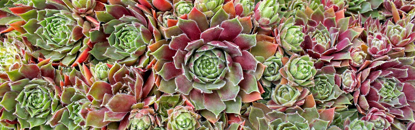 Sempervivum | Mountain Crest Gardens