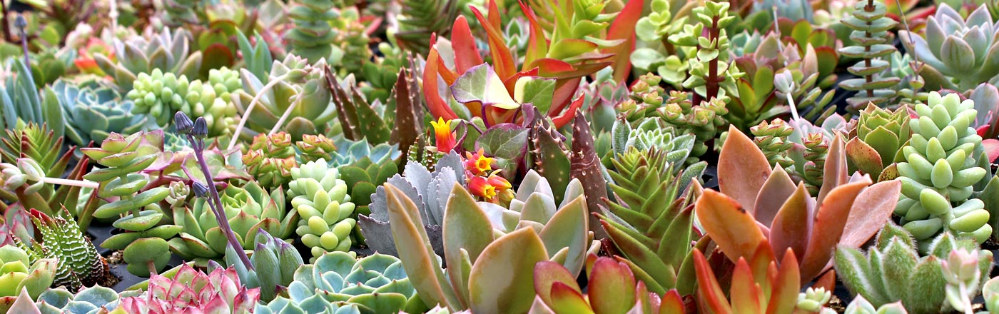 Soft Succulents | Mountain Crest Gardens