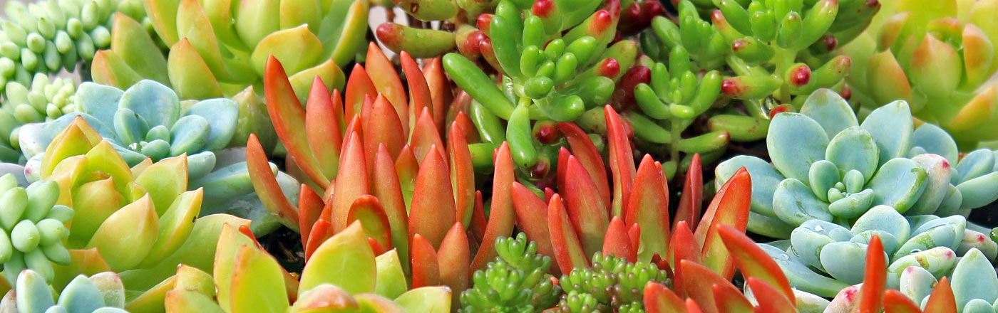 Tender Sedums | Mountain Crest Gardens