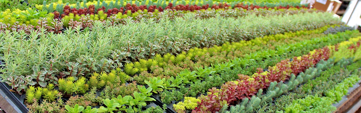 Wholesale Sedum (Stonecrop) | Mountain Crest Gardens