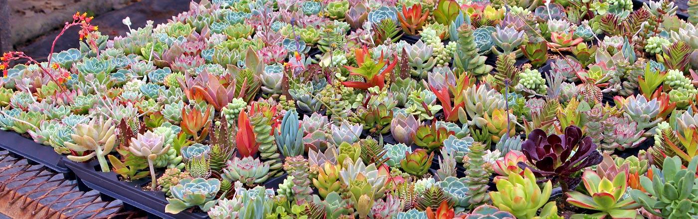 Wholesale Soft Succulents | Mountain Crest Gardens