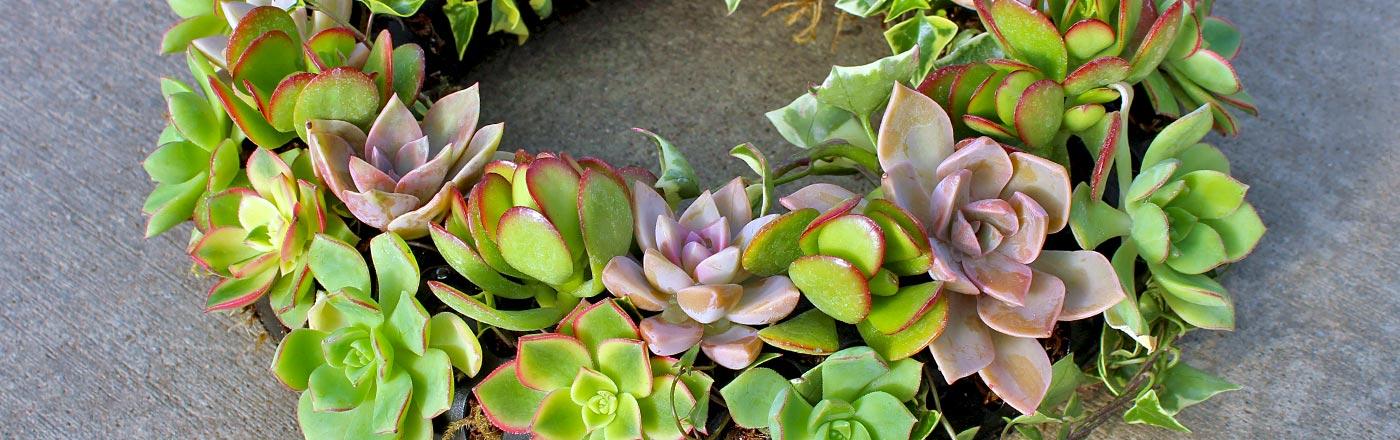 Wreath Succulents | Mountain Crest Gardens