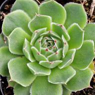 Sempervivum heuffelii 'Randolph'