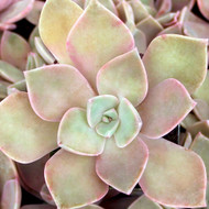 Graptoveria 'Douglas Huth' - October 2in Pot