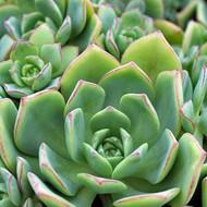 Aeonium haworthii 'Pinwheel Aeonium'