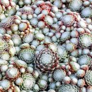 Sempervivum arachnoideum 'Pygmalion'