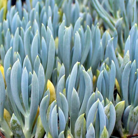 Senecio serpens (mandraliscae) - Blue Chalksticks