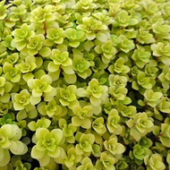 Sedum makinoi 'Ogon' - Japanese Golden Sedum