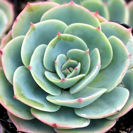 Echeveria imbricata - Blue Rose Echeveria