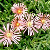 Delosperma Mesa Verde (Ice Plant)