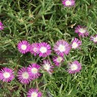 Delosperma floribundum 'Starburst' (Ice Plant)