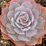 Echeveria shaviana 'Pink Frills'