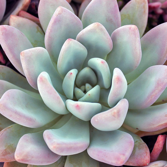 Graptoveria 'Opalina'