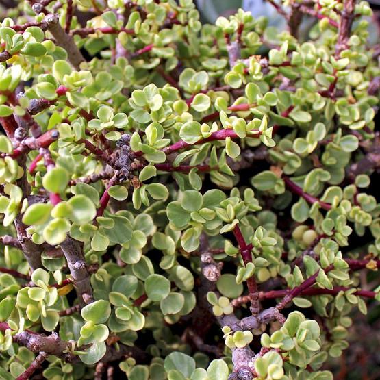 Portulacaria afra 'Variegata' - Miniature Jade, Rainbow Bush
