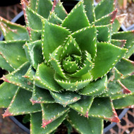 Aloe nobilis - Gold Tooth Aloe