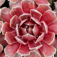 Sempervivum 'Ruby Heart' - February Color
