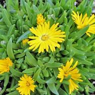 Delosperma congestum 'Gold Nugget' (Ice Plant)