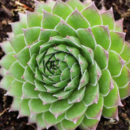 Sempervivum 'Hart 8' - Winter