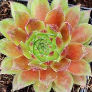 Sempervivum 'Hart 8' - Spring