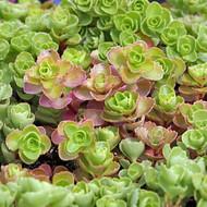 Sedum spurium 'Pink Jewel'