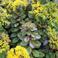 Sedum selskianum - Blooms