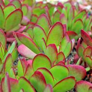 Crassula pubescens subsp. radicans