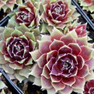 Sempervivum 'Irazu' - Winter and Spring Colors