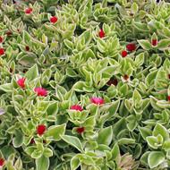 Aptenia cordifolia variegata 'Crystal' - Heartleaf Ice Plant