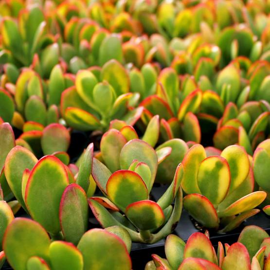 Crassula ovata 'Hummel's Sunset' - Golden Jade