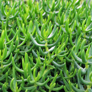 Crassula tetragona - Miniature Pine Tree