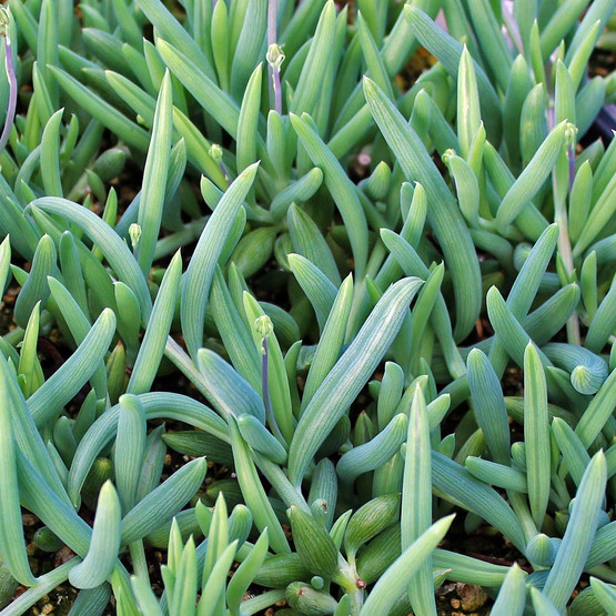 Senecio radicans glauca - Blue Pickle Vine