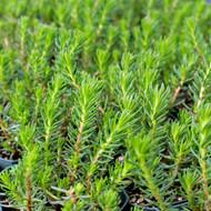 Sedum reflexum 'Green Spruce'