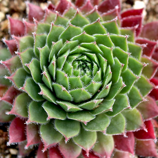 Sempervivum 'Itchen'