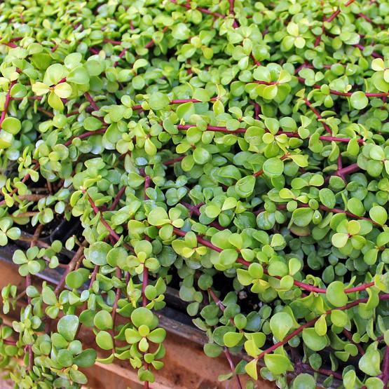 Portulacaria afra 'Decumbent' - Miniature Jade