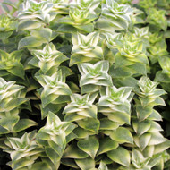 Crassula perforata 'Variegata' - String of Buttons