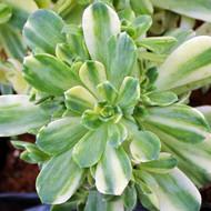 Aeonium castello-paivae f. variegata 'Suncup'