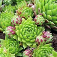 Sempervivum globiferum ssp. hirtum 'Connie'