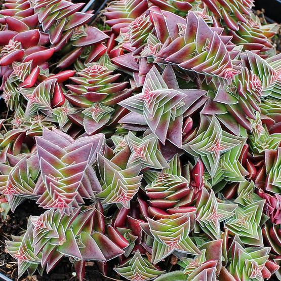 Crassula capitella subsp. thyrsiflora - Red Pagoda, Pagoda Village