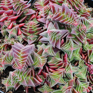 Crassula capitella subsp. thyrsiflora - Red Pagoda, Pagoda Village - mature