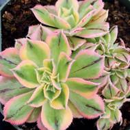 Aeonium 'Sunburst' f. cristata