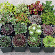 Sempervivum / Sedum Collection - Large (16)