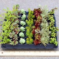 Hanging and Trailing Succulent 49 Plug Tray - 7 Varieties - Spring and Summer